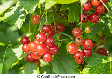 Bunch of redcurrant on a bush in the sun. Fresh berries ribes rubrum.