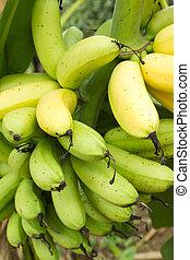 Bunch of ripe banana on tree
