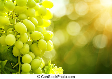 Bunch of ripe grapes in bright sunlight