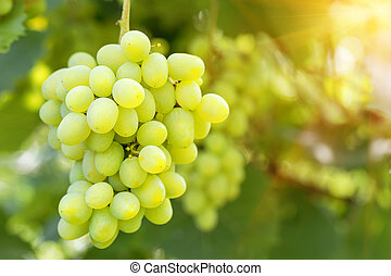 Bunch of ripe grapes on branch in bright sunlight