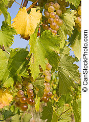 bunch of ripe grapes on grapevine right before harvest