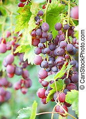 bunch of ripe grapes on vine