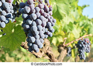 Bunch of ripe grapes still on the vine