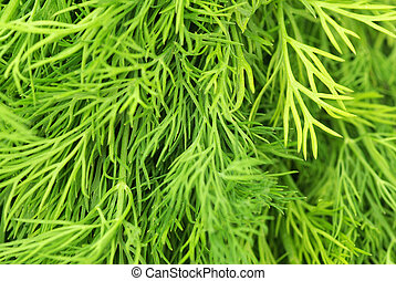 dill - Bunch of ripe green dill