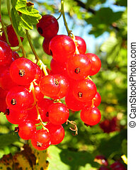 Bunch of ripe red currant berries on a bush.
