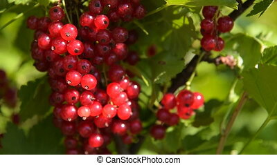 Bunch of ripe red currant in sun light - Close-up shot of...