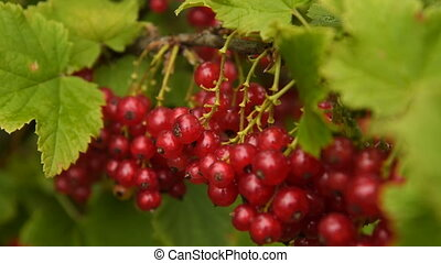 Bunch of ripe red currant on the bush