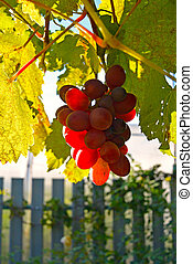 Bunch of ripe red grapes hanging on a branch in sunny day