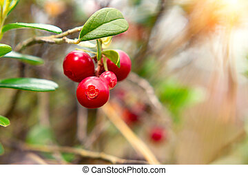Bunch of ripe red lingonberries on a bush in the forest
