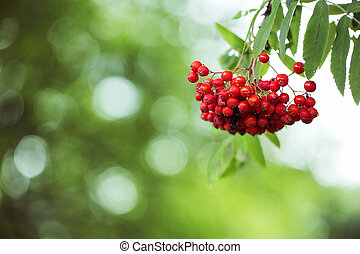 Bunch of ripe rowan hanging on tree