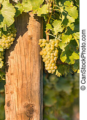 bunch of ripe Sauvignon Blanc grapes growing in vineyard...