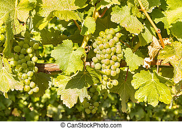 ripe Sauvignon Blanc grapes on the vine at harvest time -...