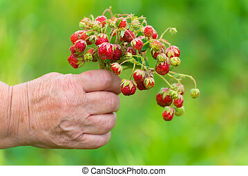 Bunch of ripe strawberries in a female hand