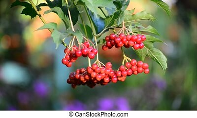 Bunch of ripe Viburnum on  branch