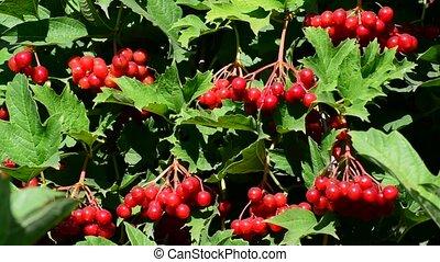 Bunch of ripe Viburnum on  branch