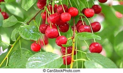 Bunch of ripe wet cherries on cherry tree 4K close up shot