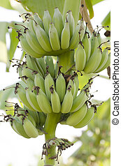 Bunch of ripening bananas