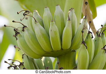 Bunch of ripening bananas on the tree in garden.