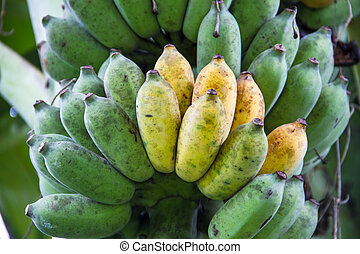 Bunch of ripening bananas on tree