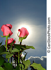 Bunch of roses over blue sky