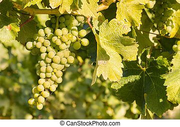 bunch of Sauvignon Blanc grapes on vine growing in vineyard...