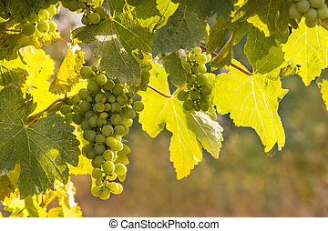 Sauvignon Blanc grapes ripening in vineyard - bunch of...