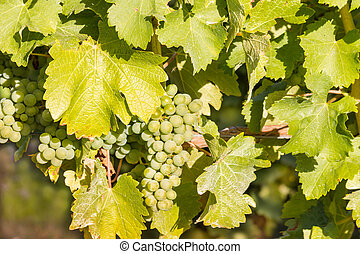 Sauvignon Blanc grapes ripening on vine in vineyard - bunch...