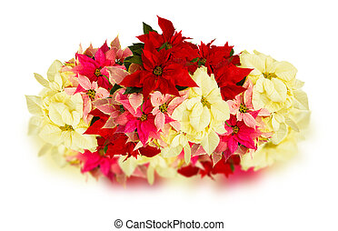 poinsettia flower or christmas star