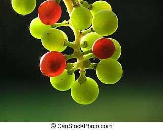 transparent grapes - Bunch of small green and red...