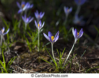 Bunch of small purple crocuses in early spring