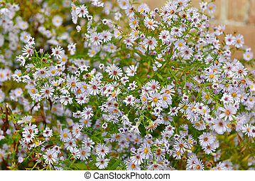 Bunch of small white summer flowers