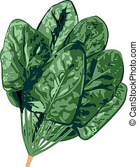 Bunch of spinach on a white background