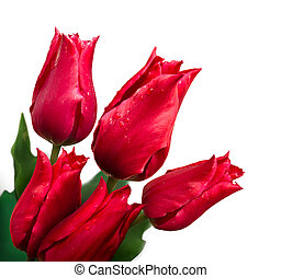 Bunch of tulips on white background - Bunch of red tulips...