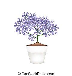 Bunch of Violet Geranium Flowers in A Pot