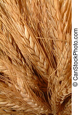 Bunch of wheat