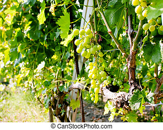 bunch of white grapes in wine region Etna, Sicily