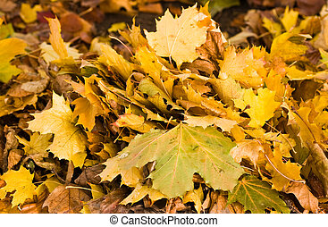 Bunch of yellow autumn leaves