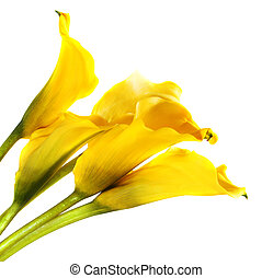 Bunch of yellow cala lilies isolated on white