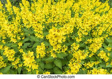 Bunch of yellow flowers in a garden