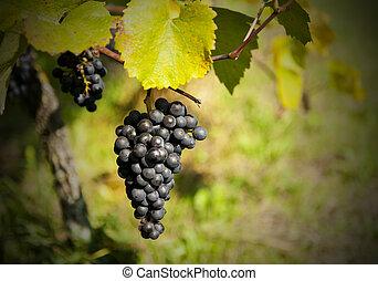 Bunch ov grapes