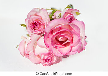 bunch pink roses on white background