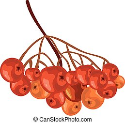 Bunch rowan. Rowanberry. Isolated illustration in vector...