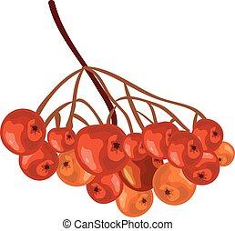 Bunch rowan. Rowanberry. Isolated illustration in vector format