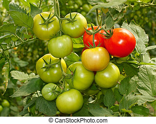 Bunch with green and red tomatoes