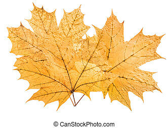 bunch yellow maple leaf, on white background; isolated