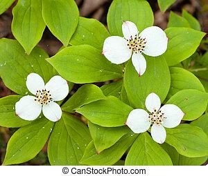 bunchberry, cornus, blumen, canadensis, blühen