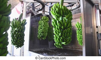 Bunches of banana hanging in a washing machine in food...