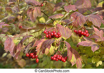bunches of berries in autumn