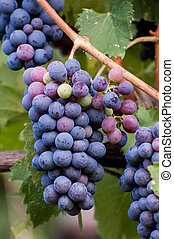 bunches of black grapes in the vineyard
