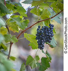 Bunches of black ripe grapes grow in the garden